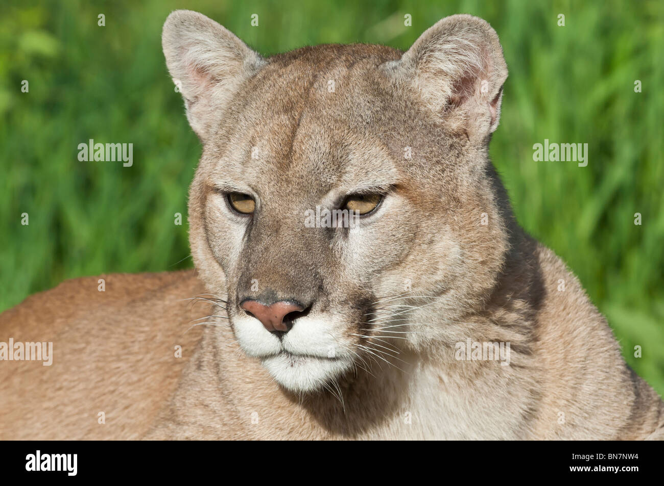 Puma Argentina Stock Photos Puma Argentina Stock Images Alamy