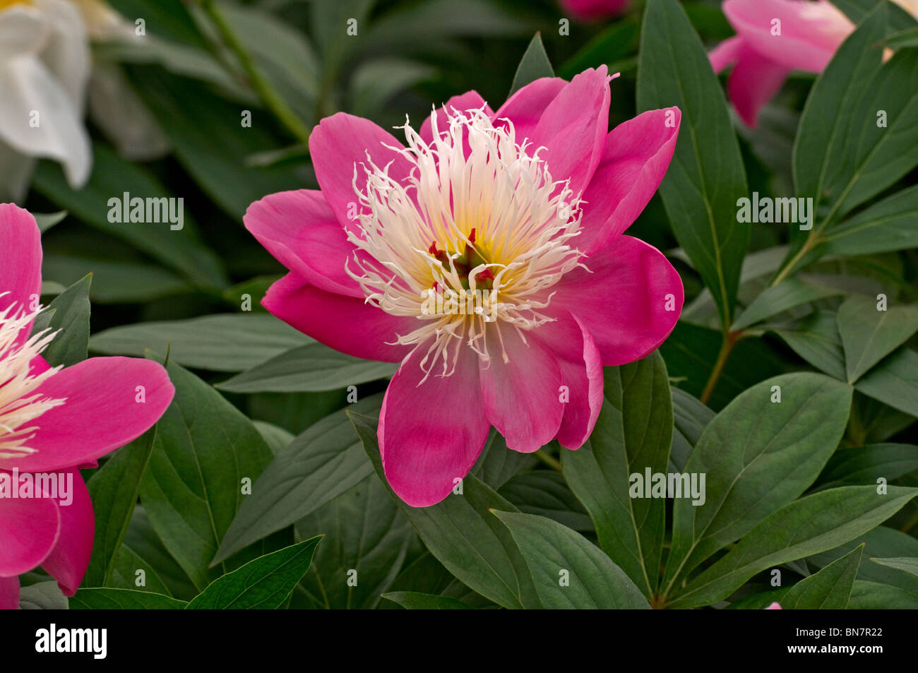 Herbaceous Peonies 'Bowl of Beauty' in flower - Stock Image