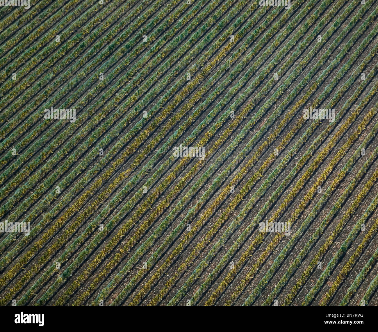 aerial view above netting over northern California vineyard protecting grapes from birds - Stock Image