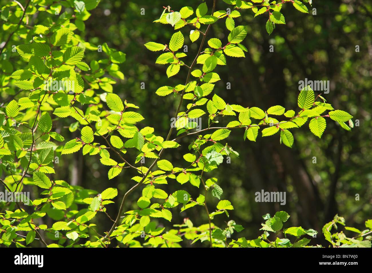 Bright green fresh Hazel leaves in English woodland - Stock Image