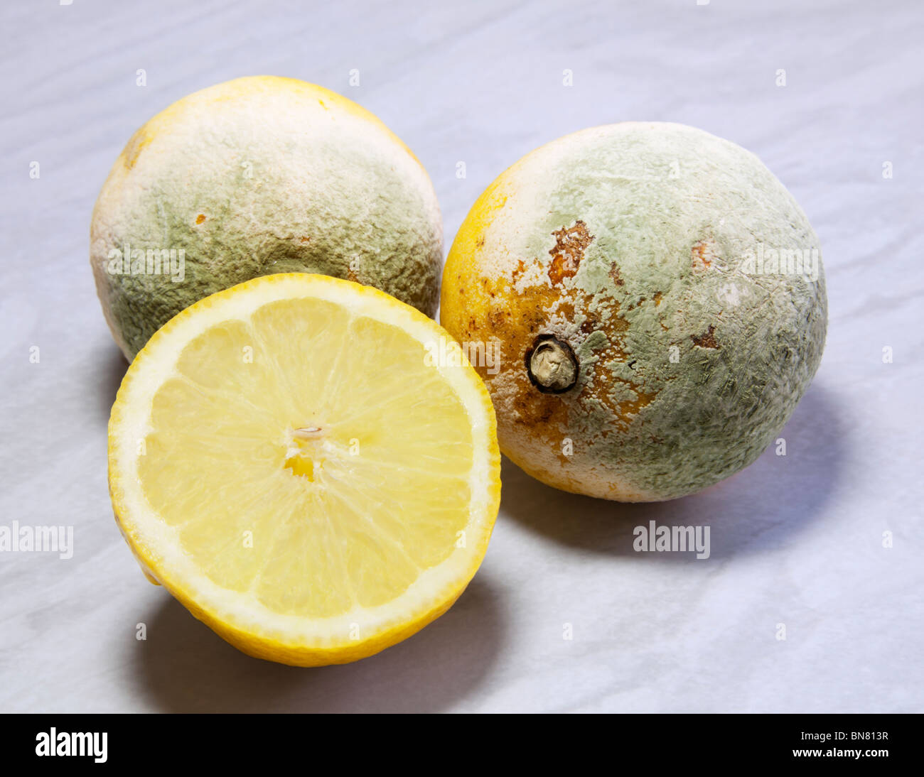 Rotten old lemons covered with green penicillium fungus mould. - Stock Image