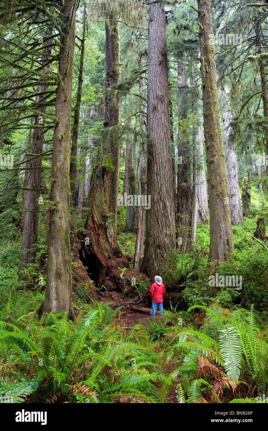 Hiker looking at huge Coastal Redwoods (Sequoia sempervirens), Prairie Creek Redwoods St. Prk, Redwood National - Stock Image
