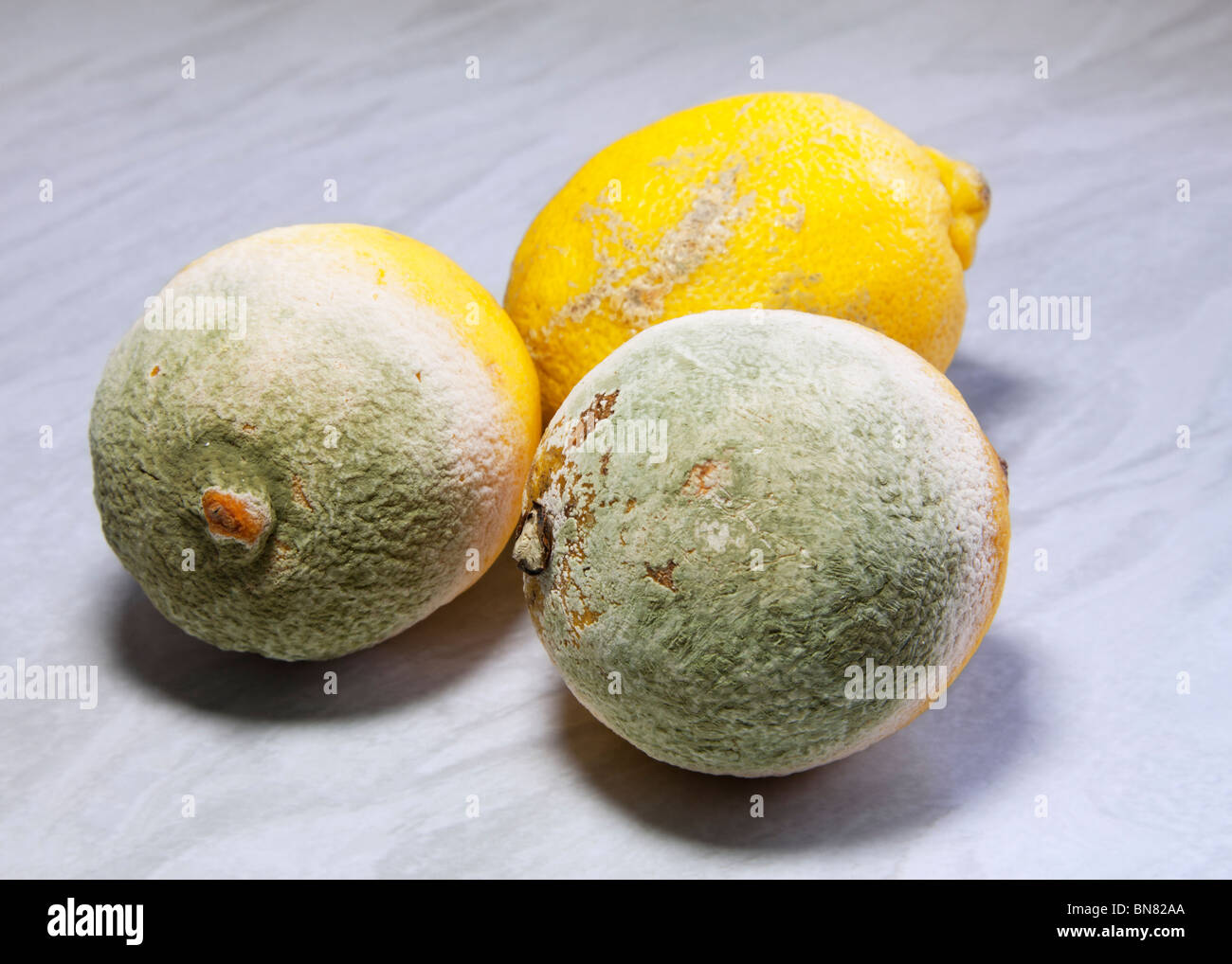 Rotten old lemons, two covered with green penicillium fungus mould and one just going over. - Stock Image