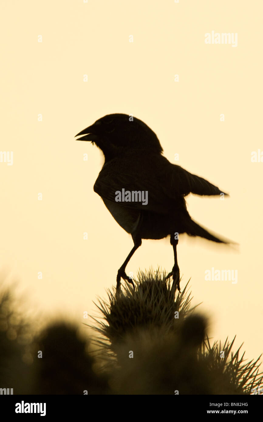Black throated Sparrow singing on Cholla Cactus - Vertical - Stock Image