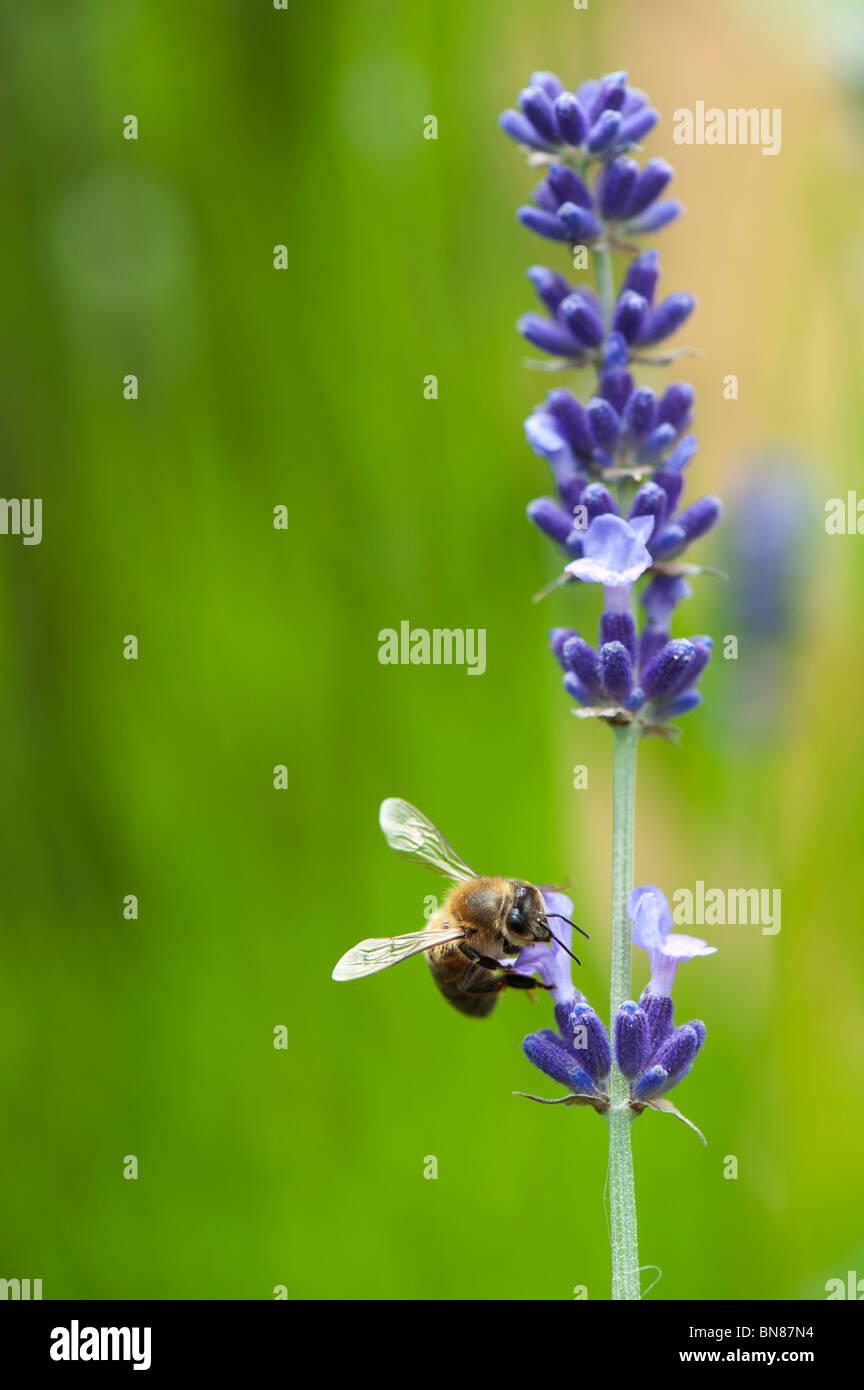 Honeybee feeding on lavender - Stock Image