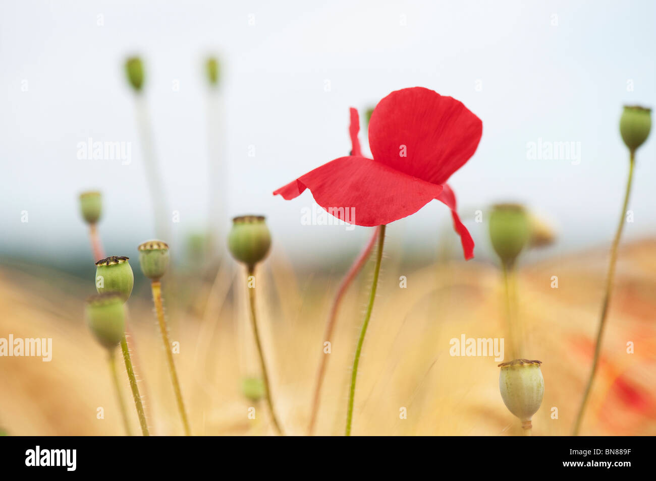 Papaver rhoeas. Field poppy in amongst barley in a field in the English countryside - Stock Image
