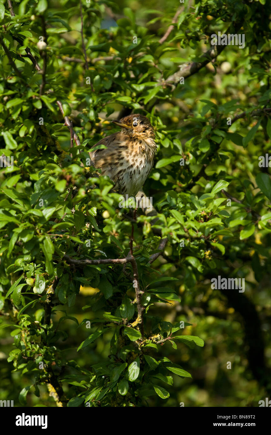 Young Thrush in blackthorn tree - Stock Image