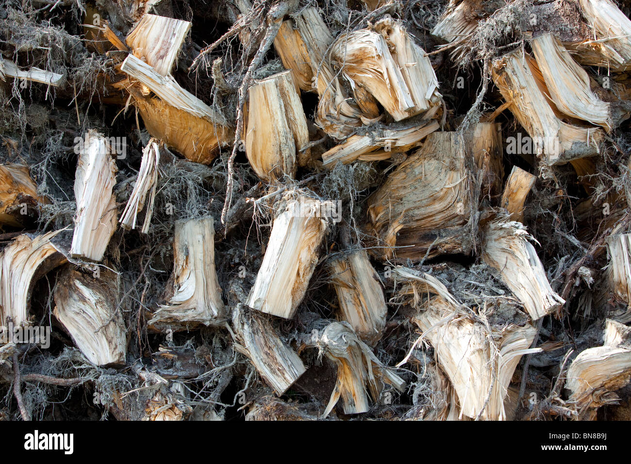 spruce stumps to be burned in energy plant, Finland - Stock Image