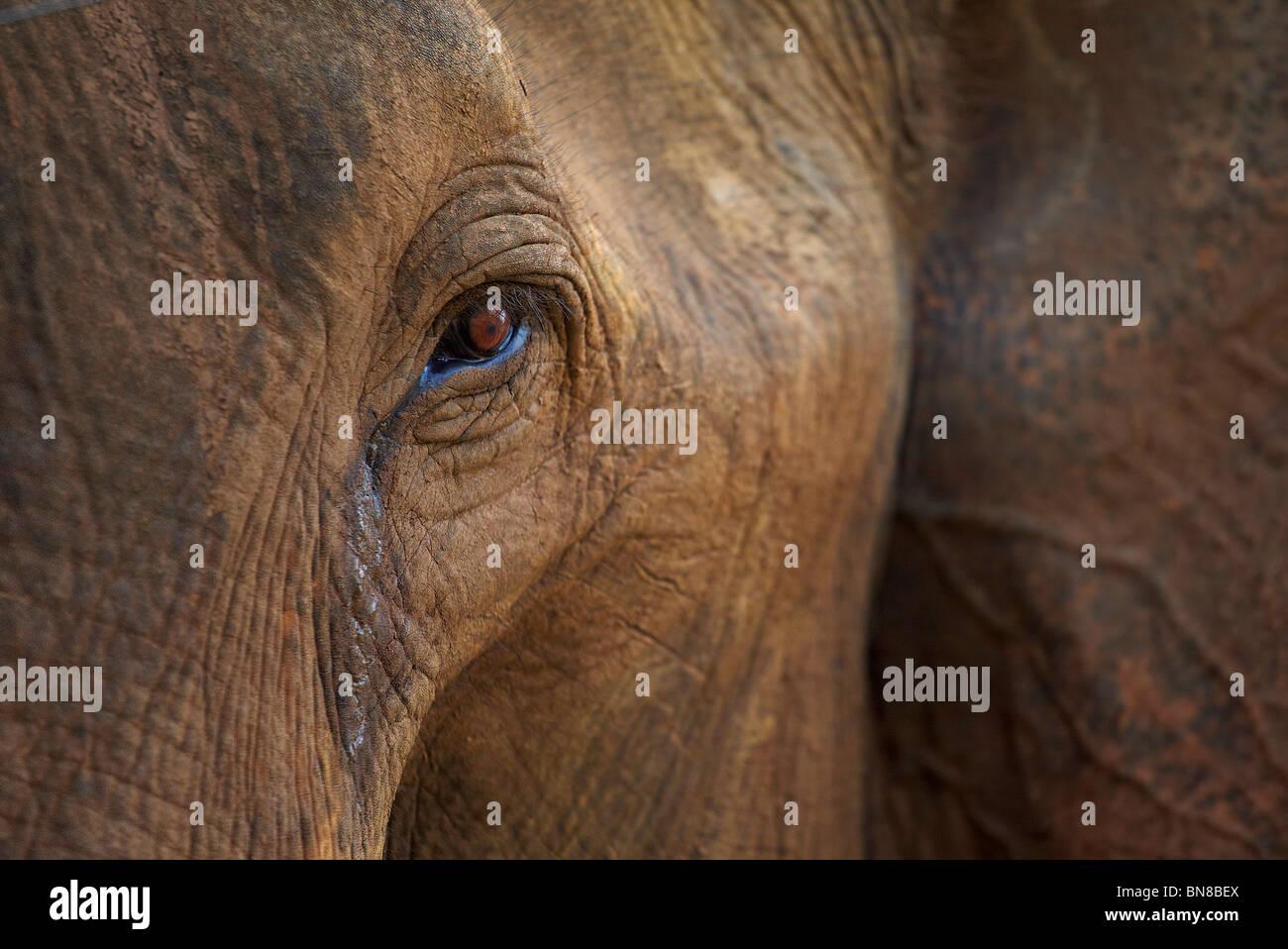Close-up of elephant in Sri Lanka - Stock Image