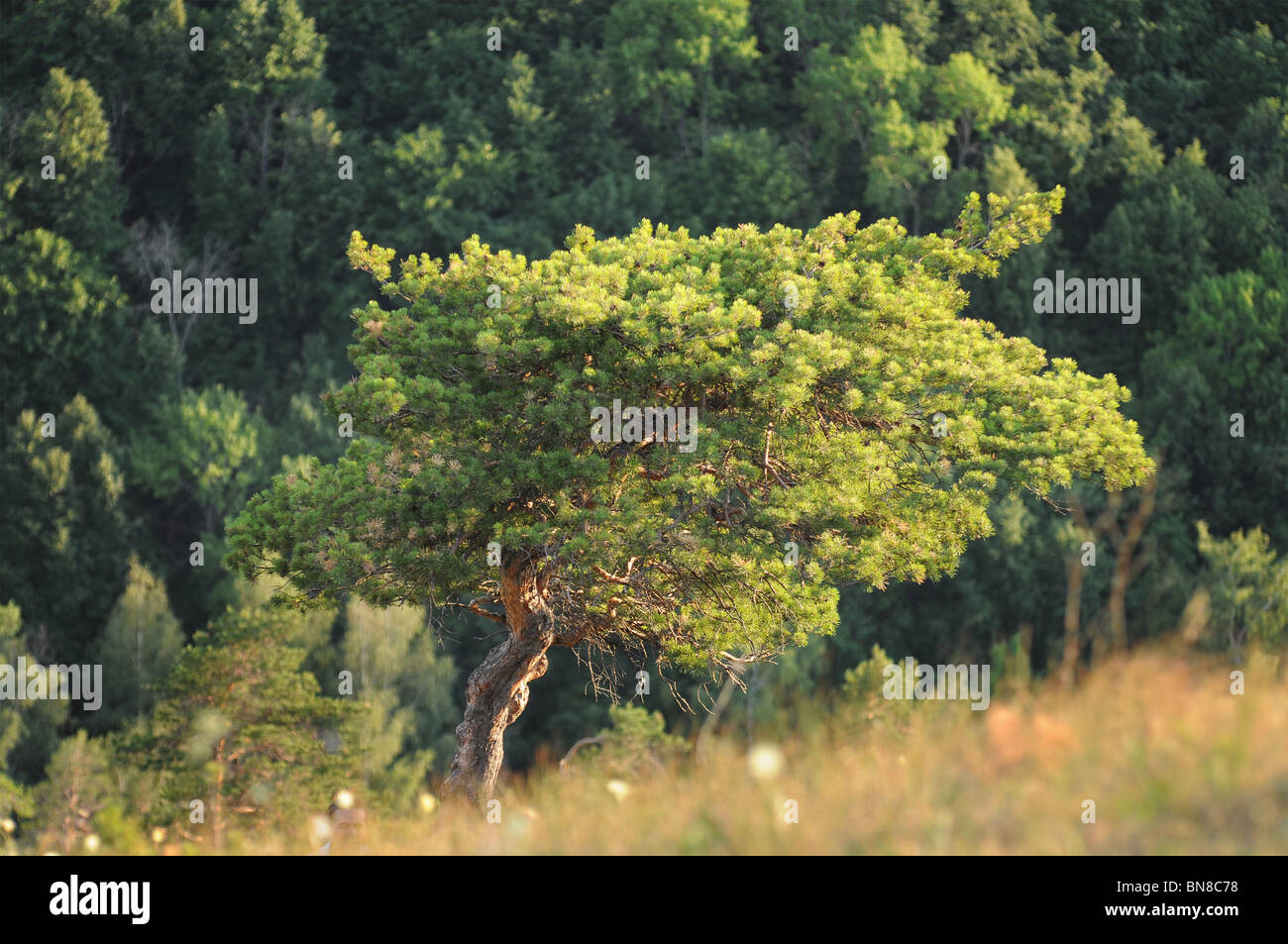 Tree over the steep Strelnaya mountain in Russian National Park 'Samara Luka' - Stock Image