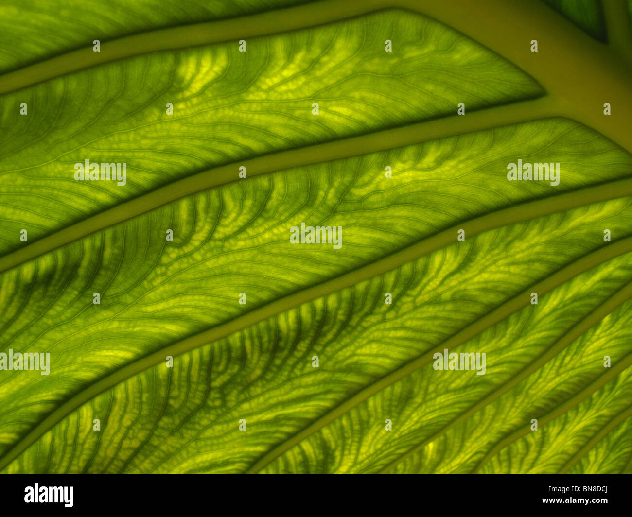 Macro shot of plant leaf. Sunlight shinning through a plant leaf, showing detailed, intricate patterns in the leaf Stock Photo