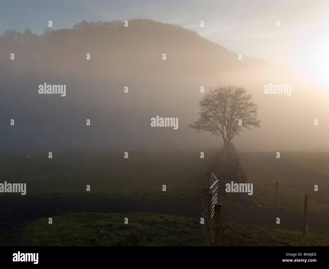 MISTY TREE AND SHEEP WYE VALLEY NR MONMOUTH WALESUK - Stock Image