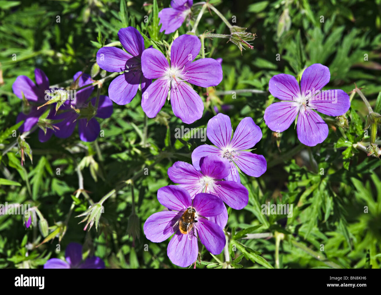 Purple Geranium Flowers in a West Sussex Garden England United Kingdom - Stock Image