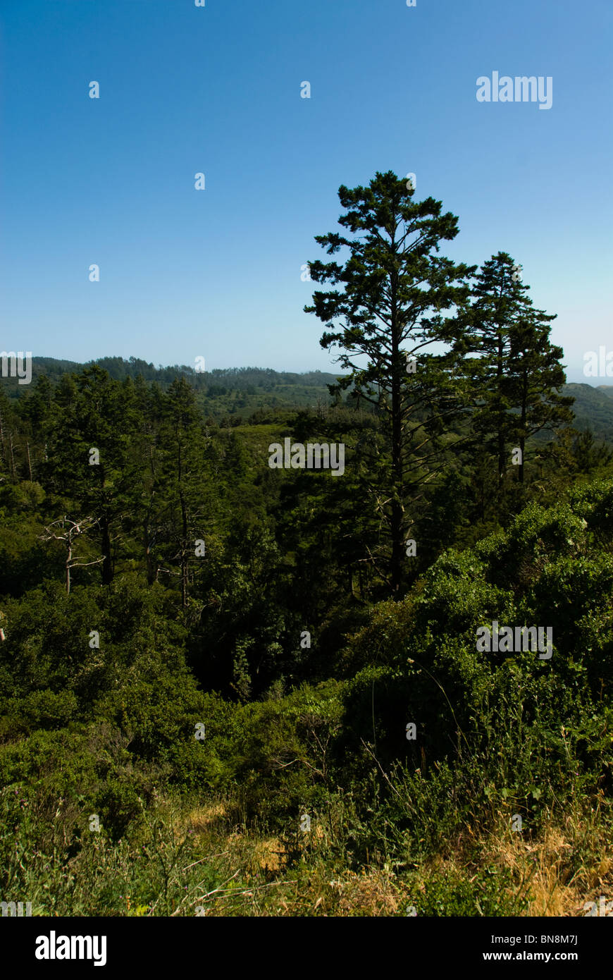 Forest at Point Reyes National Seashore near San Francisco, California. - Stock Image
