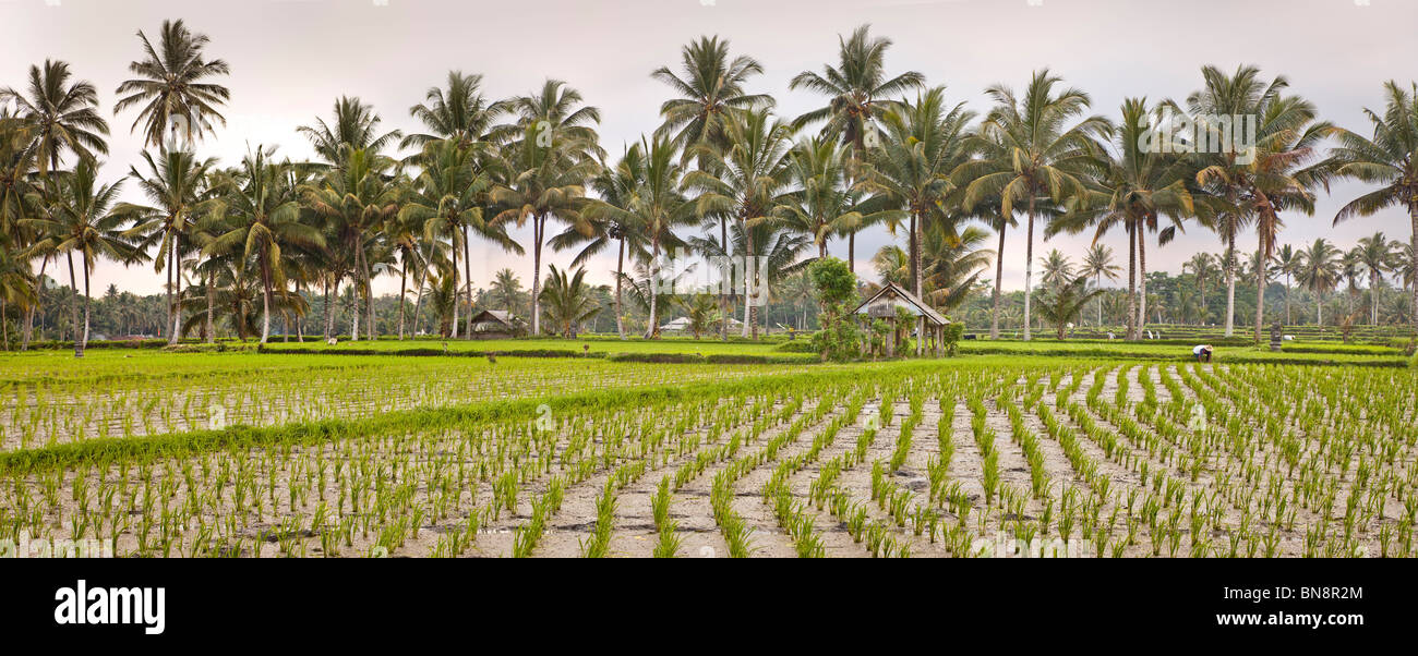 rice padi paddy bali indonesia coconut palms in the background stock photo alamy https www alamy com stock photo rice padi paddy bali indonesia coconut palms in the background 30311868 html