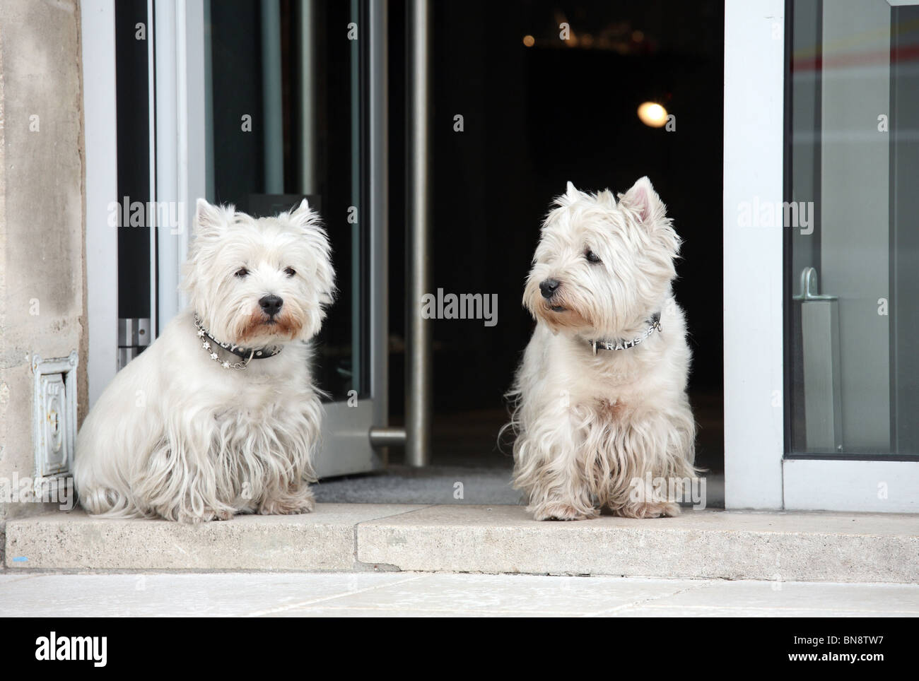 Two West Highland White Terriers, Nancy, France - Stock Image