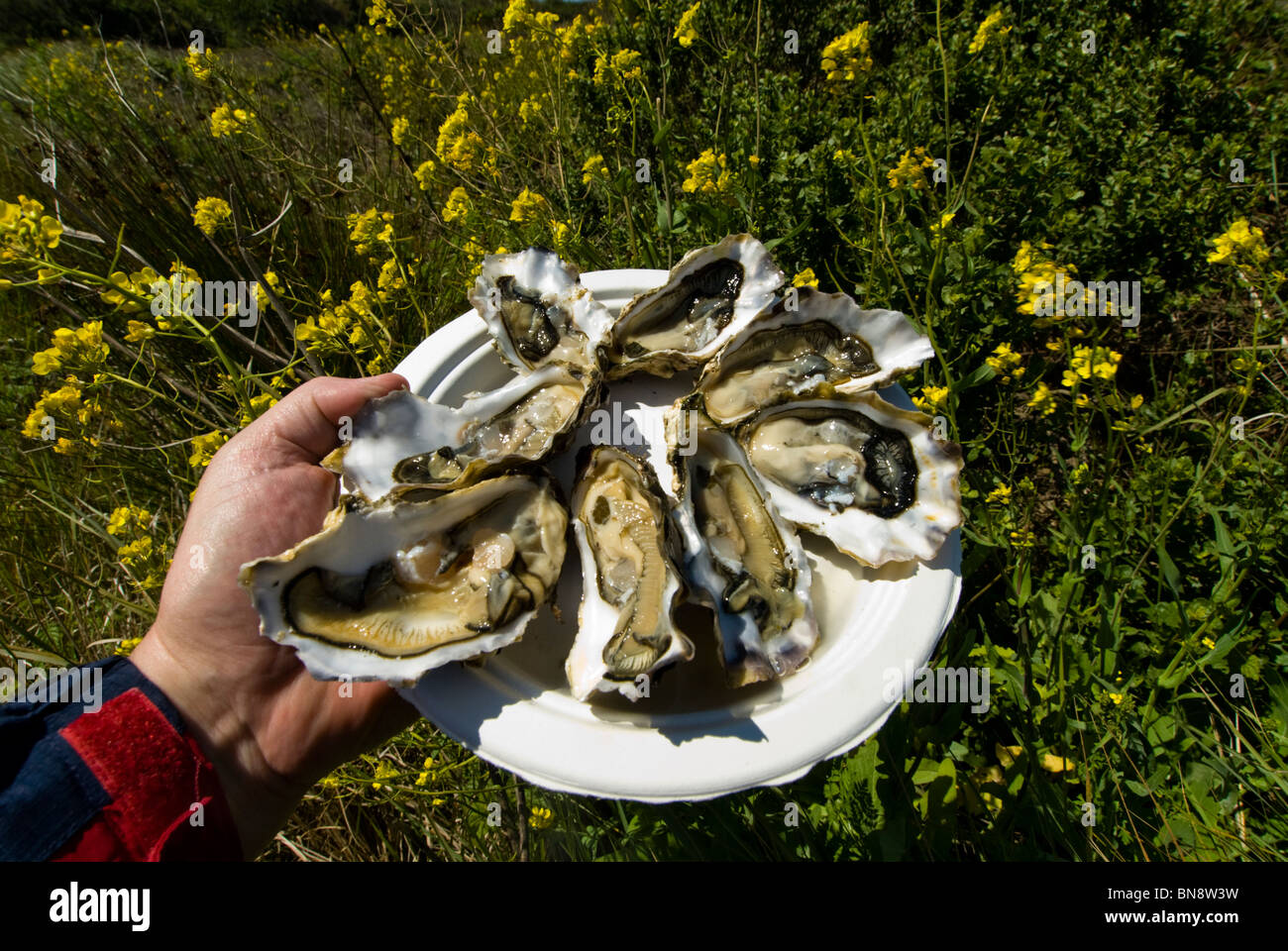 Plate of oysters at Drakes Bay Oyster Farm in Point Reyes, CA, raised in pristine waters of the bay. - Stock Image
