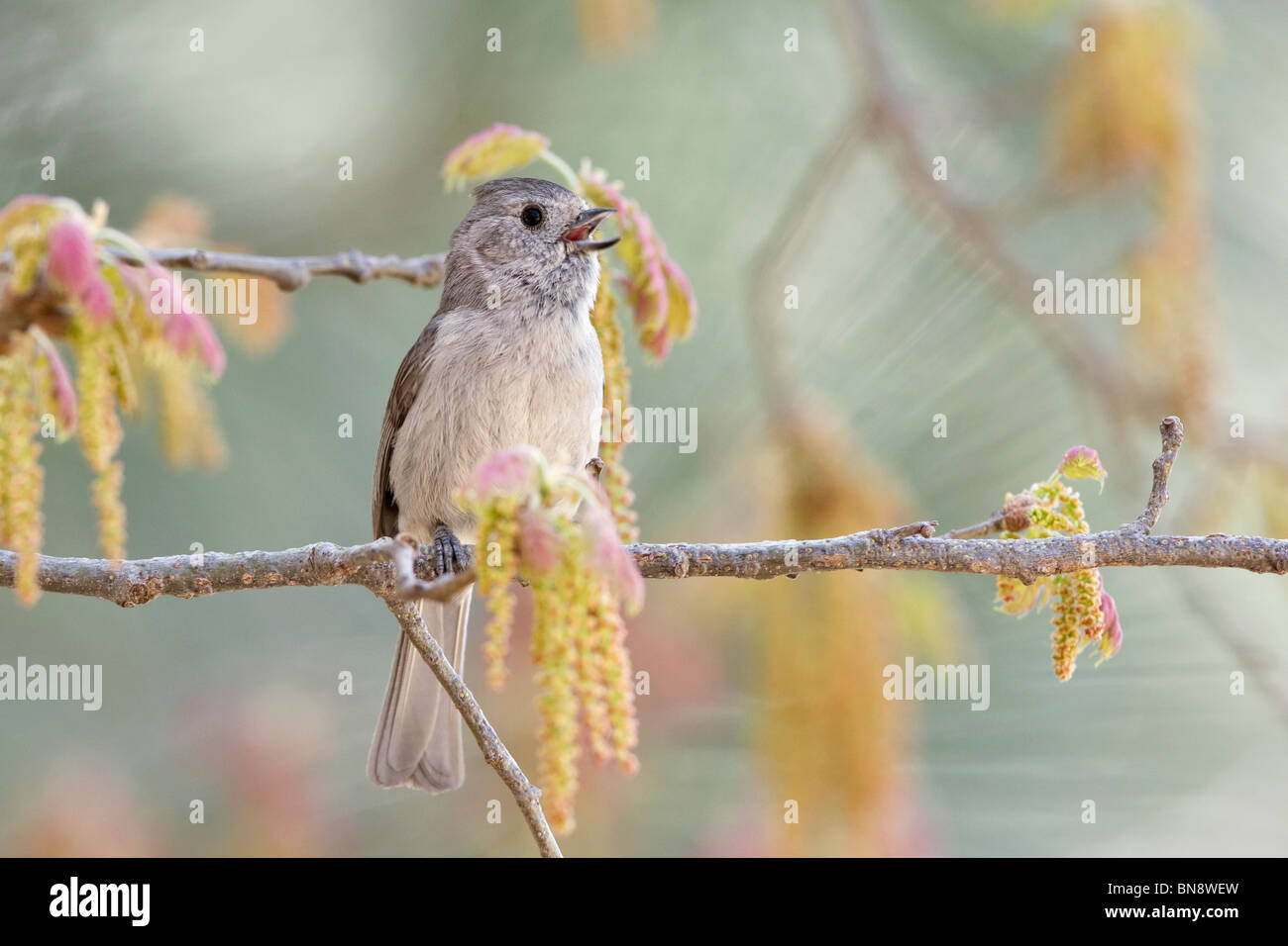 Oak Titmouse singing in Oak Tree - Stock Image