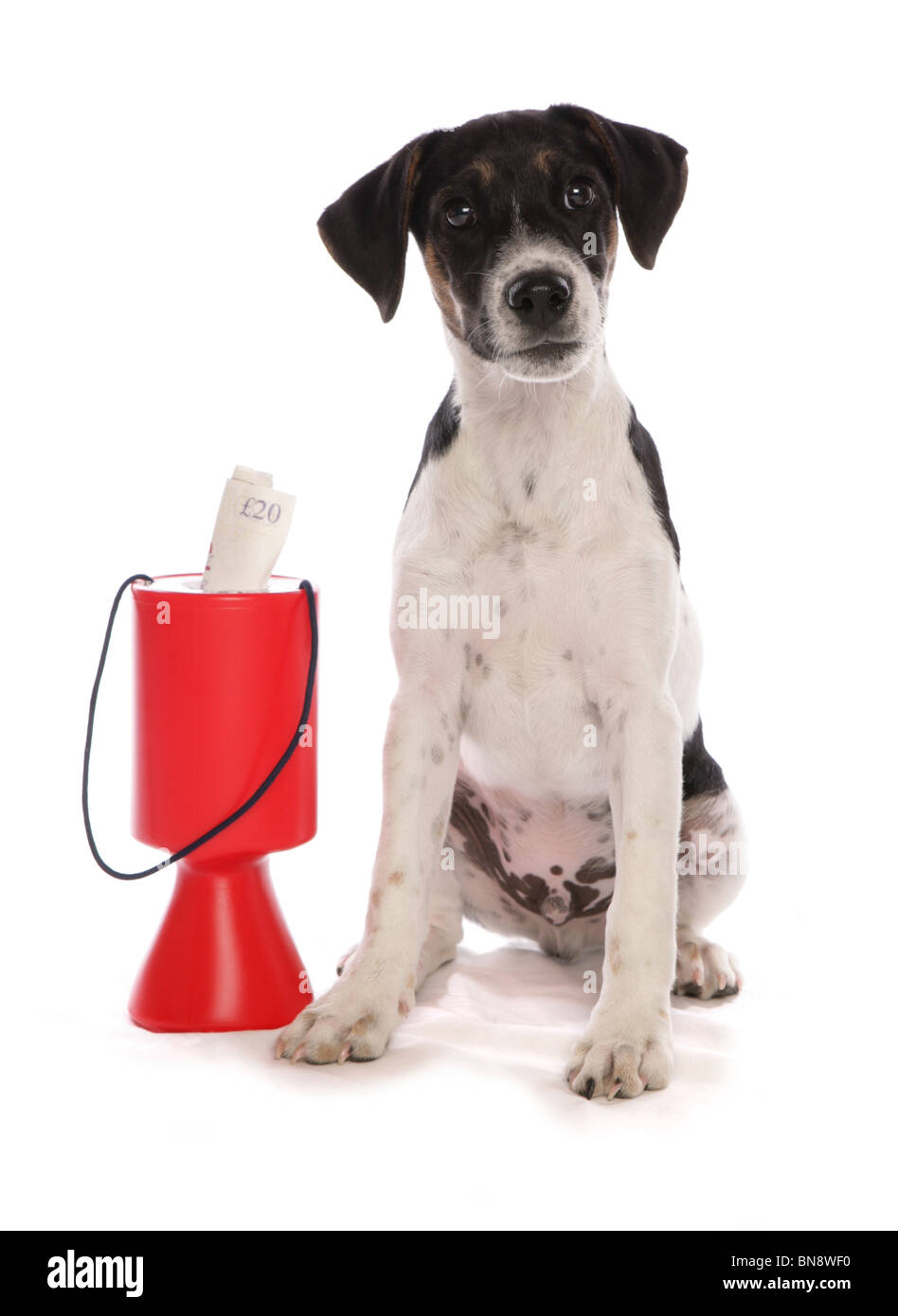 Jack Russell Terrier Single puppy with charity collection tub Studio, UK - Stock Image