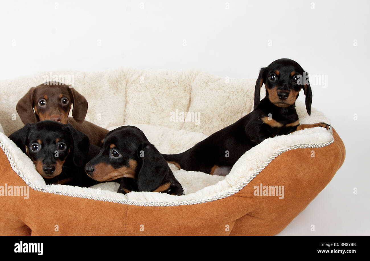 Stock photo of adorable chocolate and black & tan dachshund puppies in a dog bed - Stock Image
