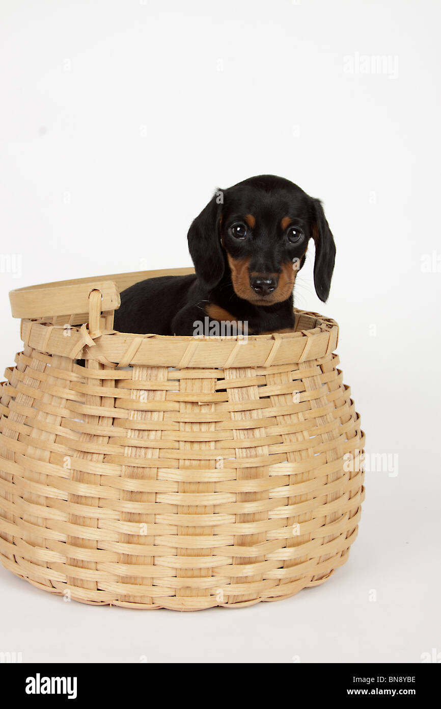 Tan Dachshund High Resolution Stock Photography And Images Alamy