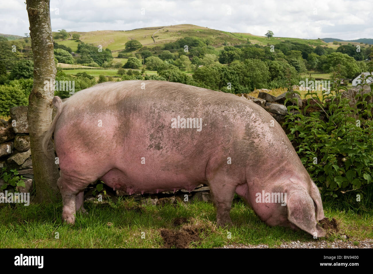 British Lop sow grazing among grass against a stonewall. - Stock Image