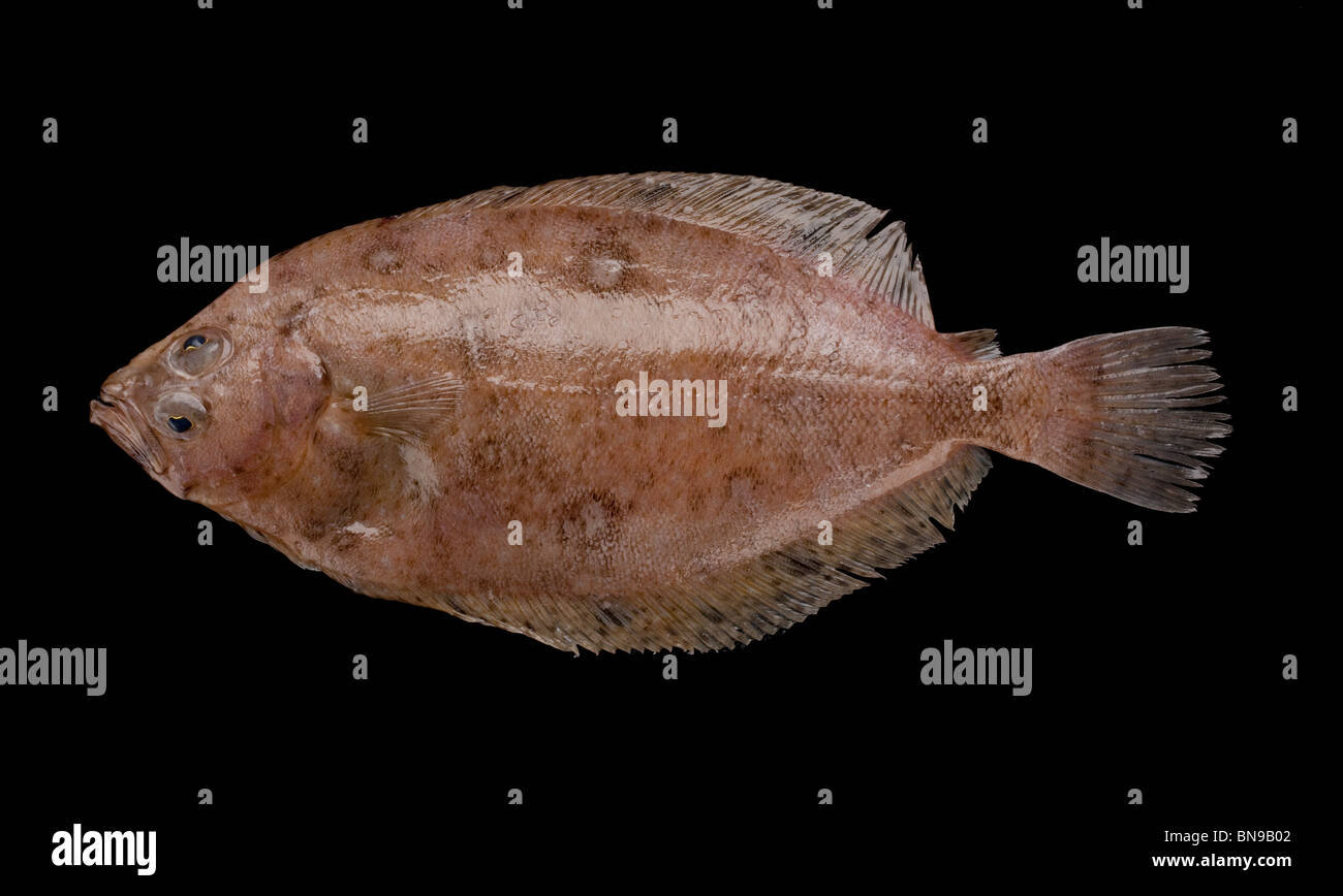 Megrim or whiff fish (Lepidorhombus whiffiagonis) a species of left-eyed Flatfish found in European seas - Stock Image