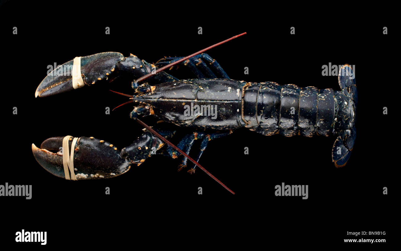 Fresh lobster, marine crustacean, basis of a global industry netting more than US$1 billion annually - Stock Image
