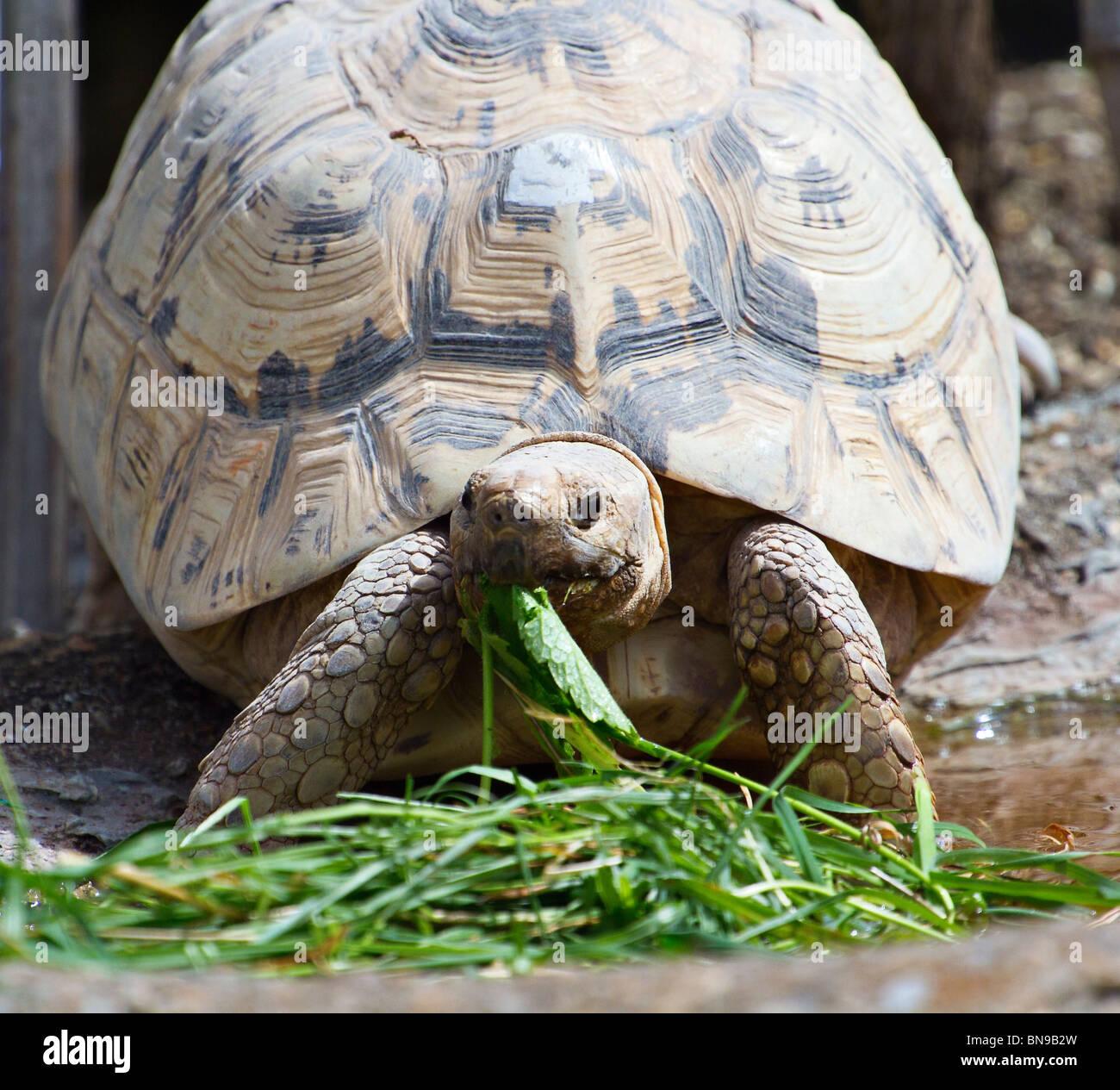 Eastern Leopard Tortoise eating leaf - Stock Image