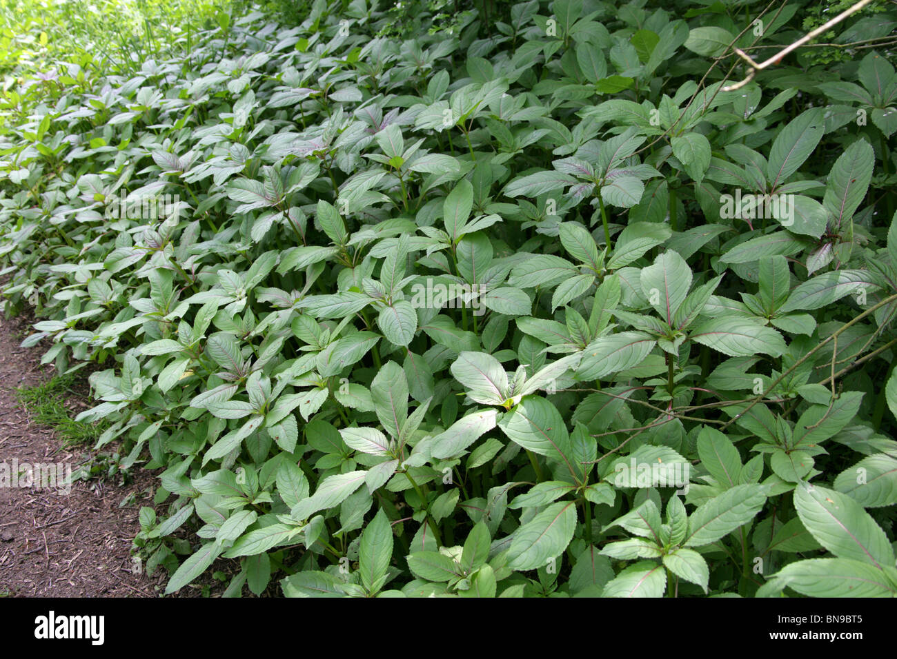Himalayan Balsam, Impatiens glandulifera, Balsaminaceae. Young Plants in Spring Woodland. Aka Indian Balsam - Stock Image