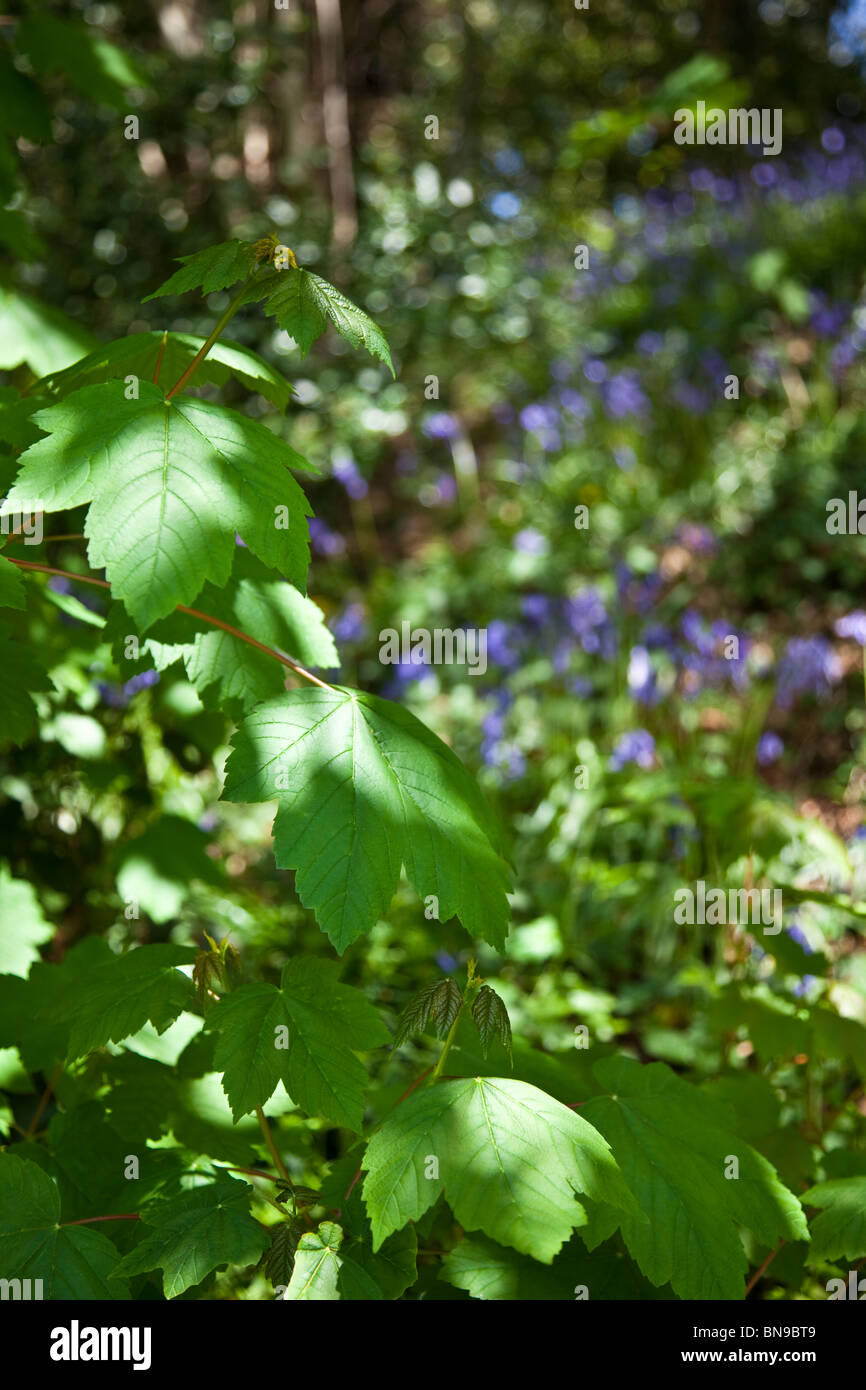 Dappled light on Sycamore leaves in wood with Bluebells in background Stock Photo
