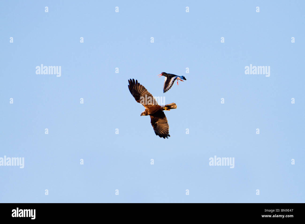 Marsh Harrier; Circus aeruginosus; in flight being mobbed by an oystercatcher Stock Photo