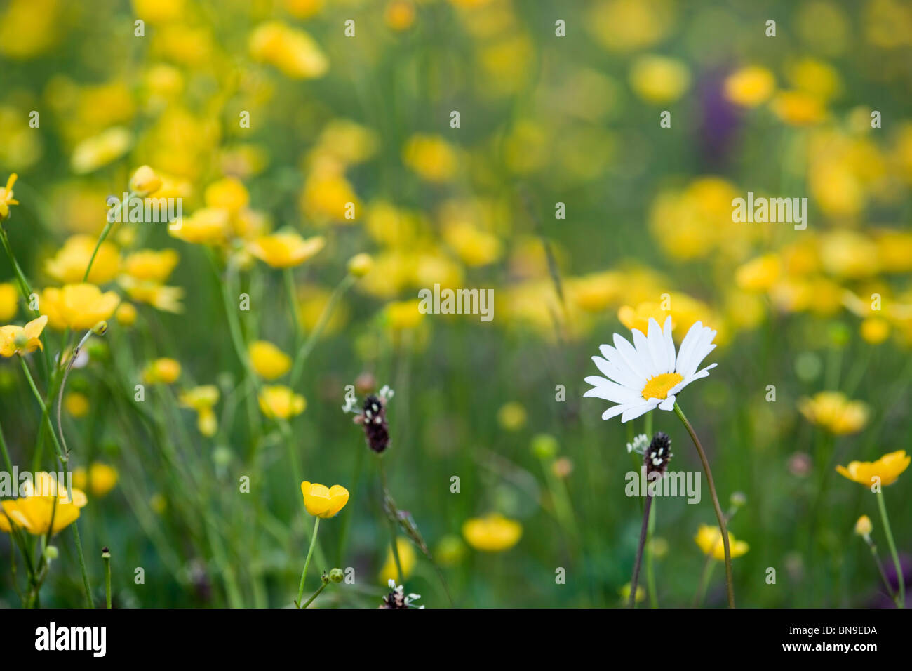 Oxeye daisy; Leucanthemum vulgare; amongst buttercups - Stock Image