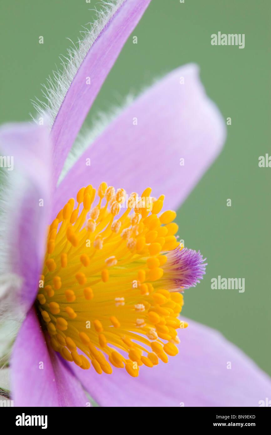 Pasque flower; Pulsatilla vulgaris; - Stock Image