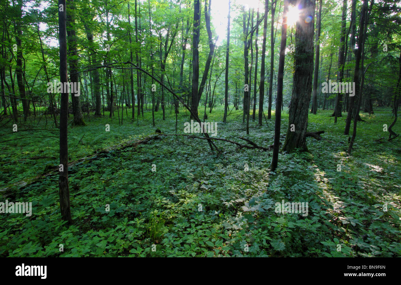 Primeval forest in Bialowieza, Poland - Stock Image