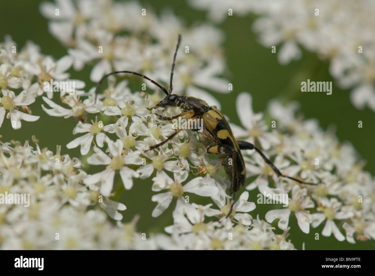 A longhorn beetle (Leptura maculata, (?) wasp mimic - Stock Image