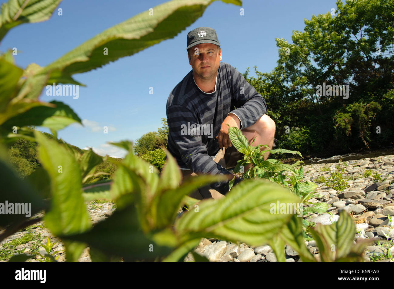 Countryside Council for Wales contractor TOM TAYLOR working to eradicate the invasive plant Himalayan Balsam from - Stock Image