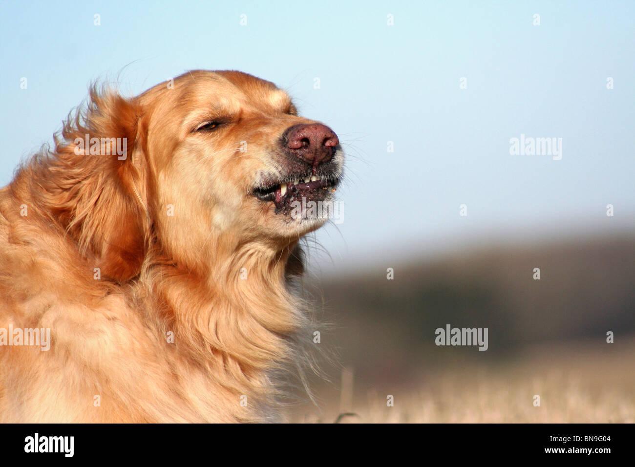 Golden Retriever Portrait - Stock Image