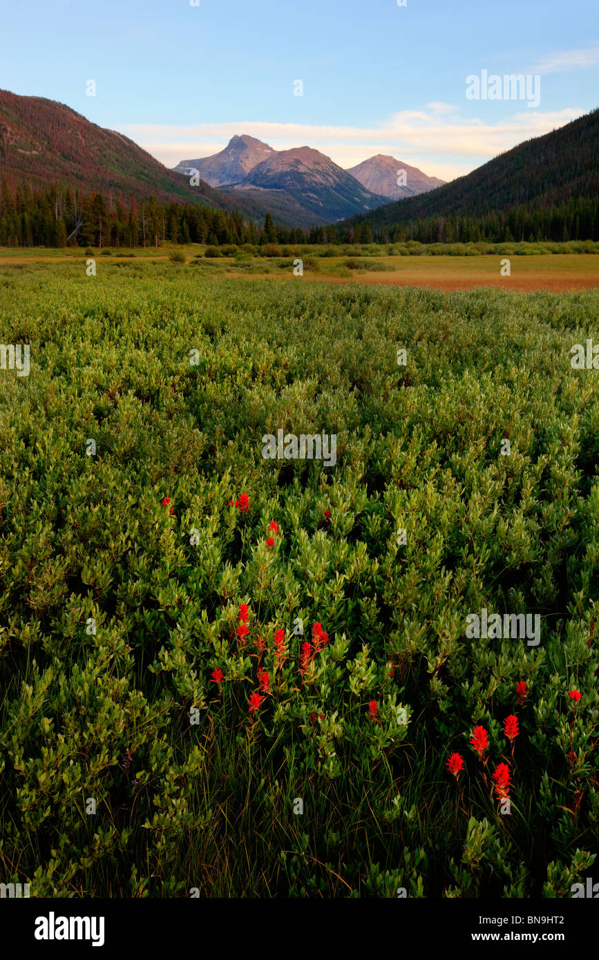 Wildflowers in Christmas Meadows, Wasatch-Cache National Forest, Utah - Stock Image