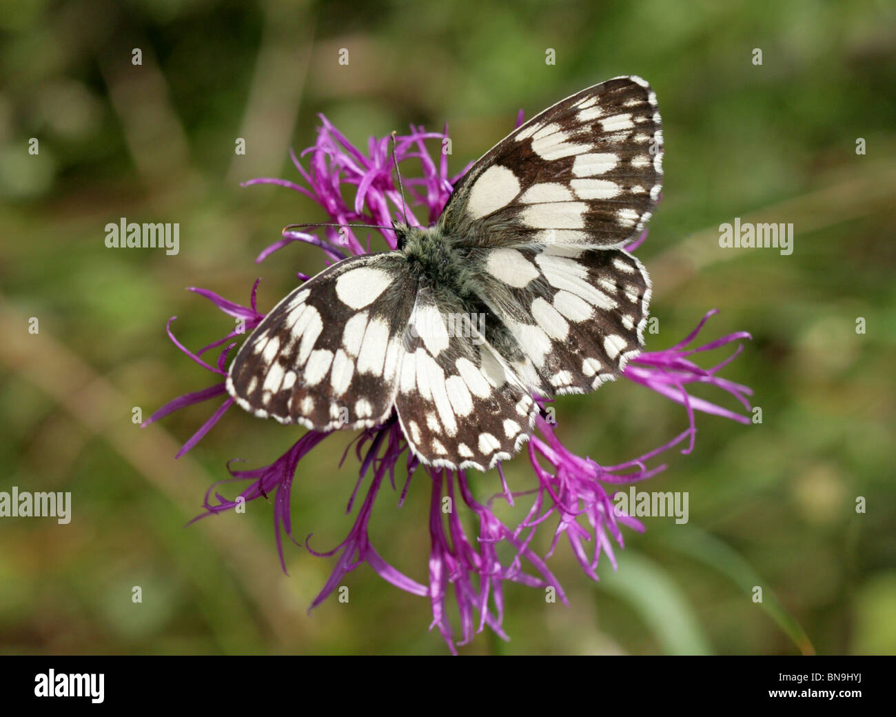 Marbled White Butterfly, Melanargia galathea, Nymphalidae, on a Greater Knapweed Flower Stock Photo