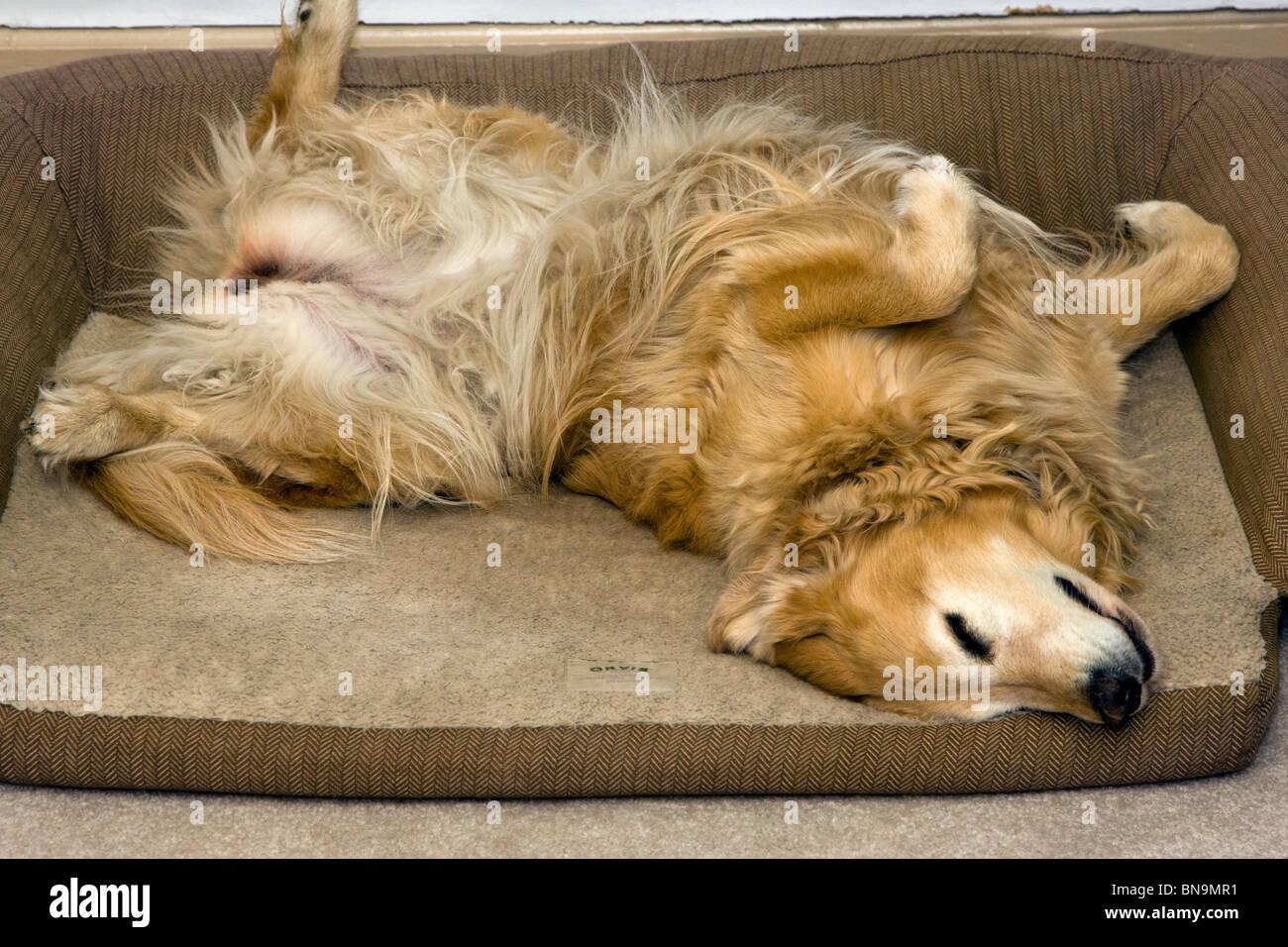 Golden Retriever dog sleeping on her back in her Orvis dog