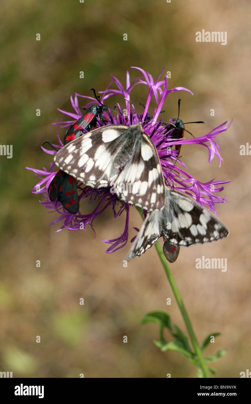 Marbled White Butterflies, Melanargia galathea, Nymphalidae, Competing with Six Spot Burnet Moths on a Greater Knapweed - Stock Image