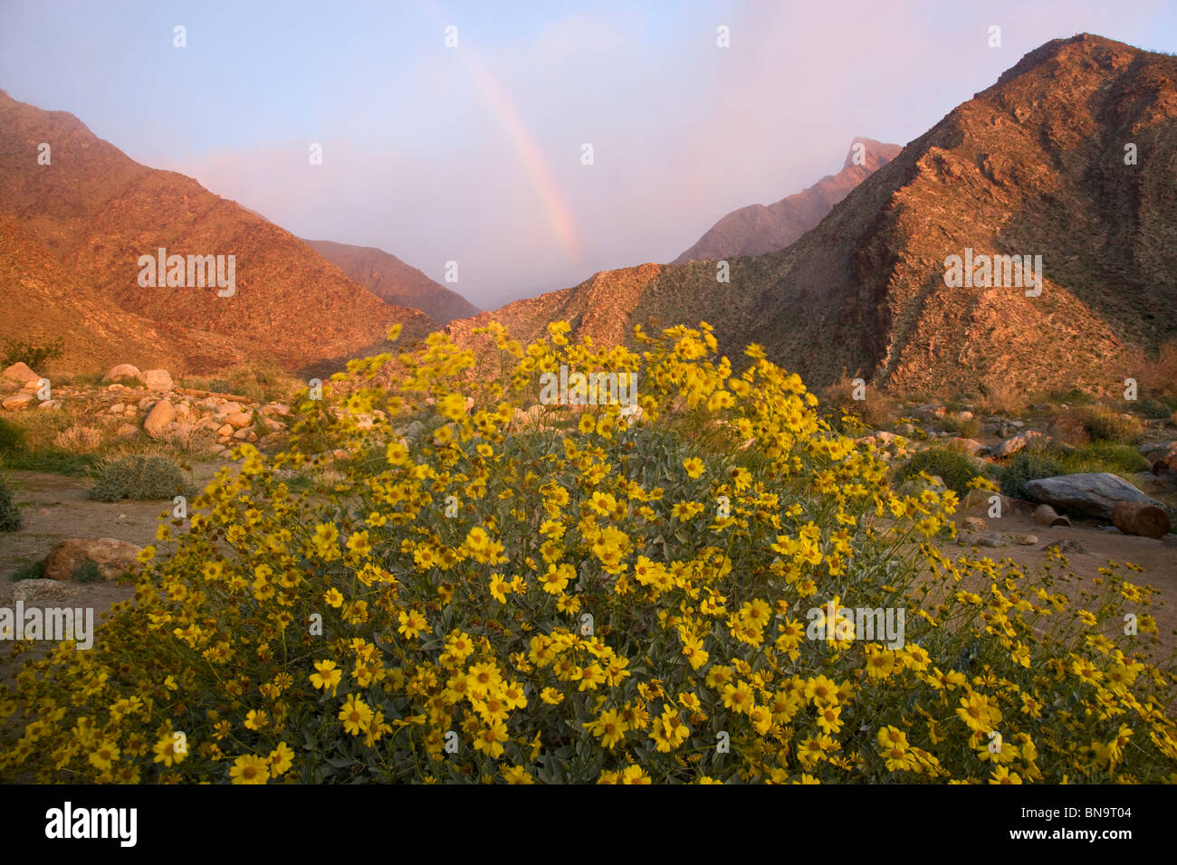 Wildflowers in Borrego Palm Canyon, Anza-Borrego Desert State Park, California. - Stock Image