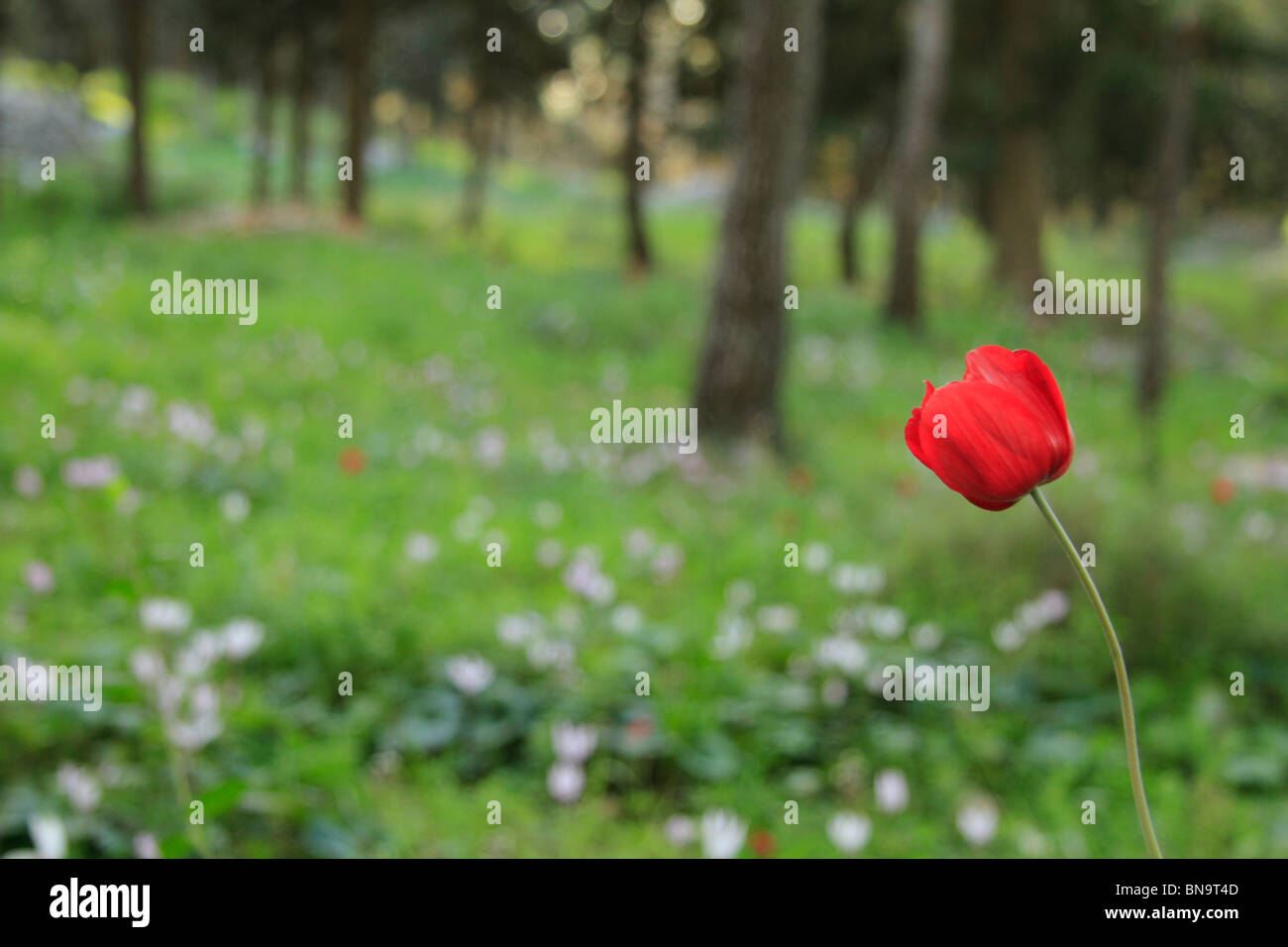 Israel, Anemone and Cyclamen flowers in Koach forest - Stock Image