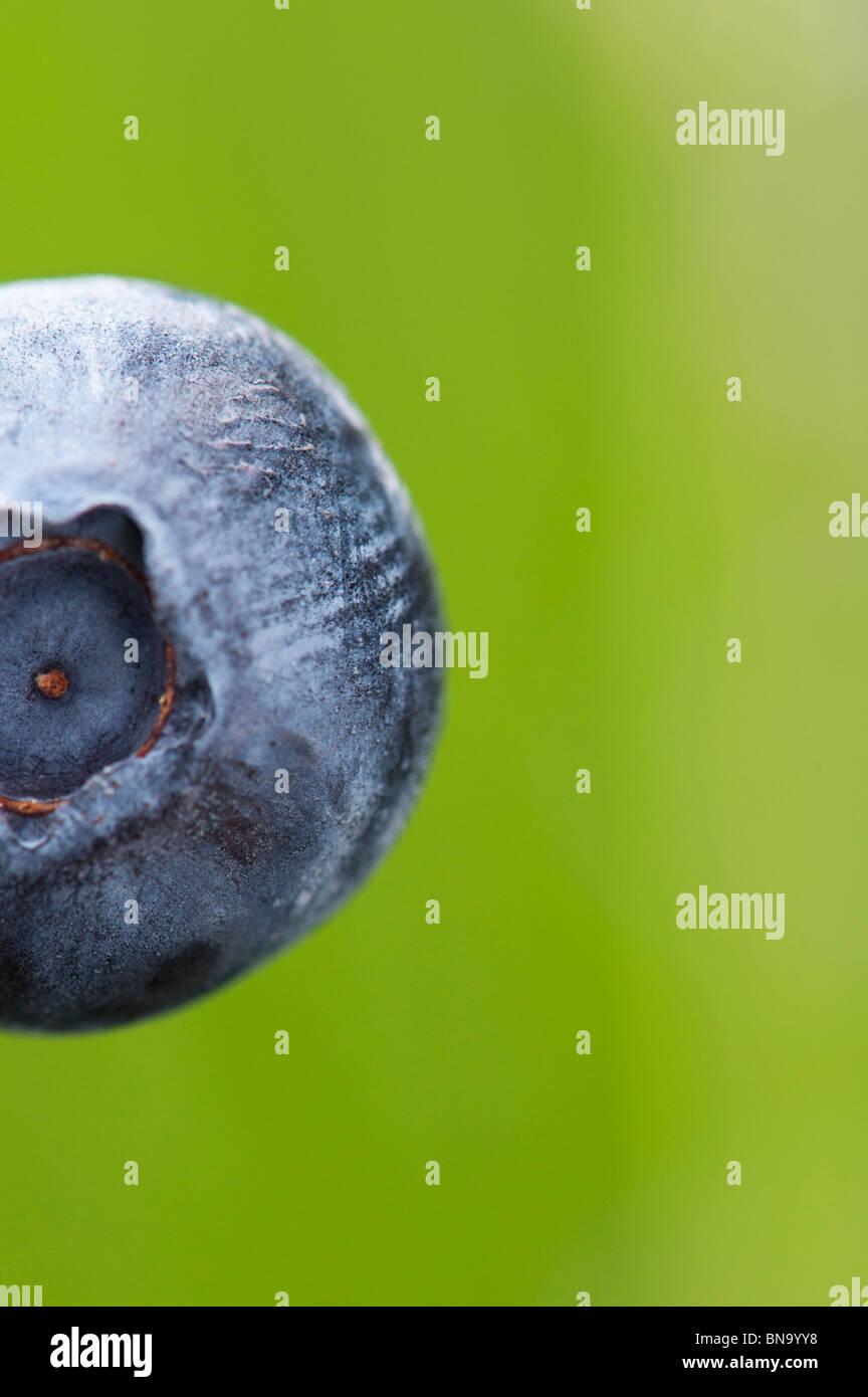 Vaccinium corymbosum. Single blueberry fruit close up - Stock Image