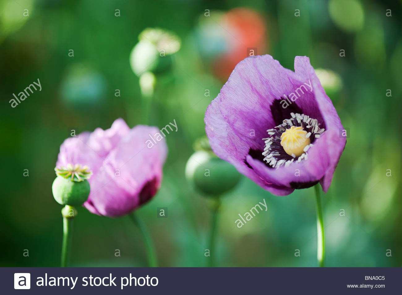 Papaver somniferum. Opium poppy and seed head in an english garden - Stock Image