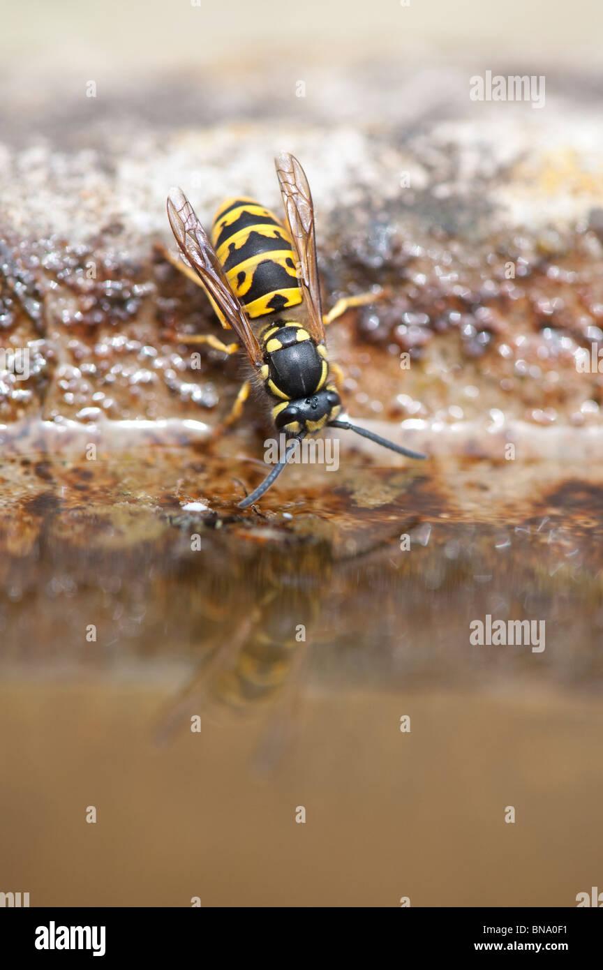 Vespula vulgaris. Common wasp. Yellowjacket wasp drinking from a bird bath in an english garden. UK Stock Photo