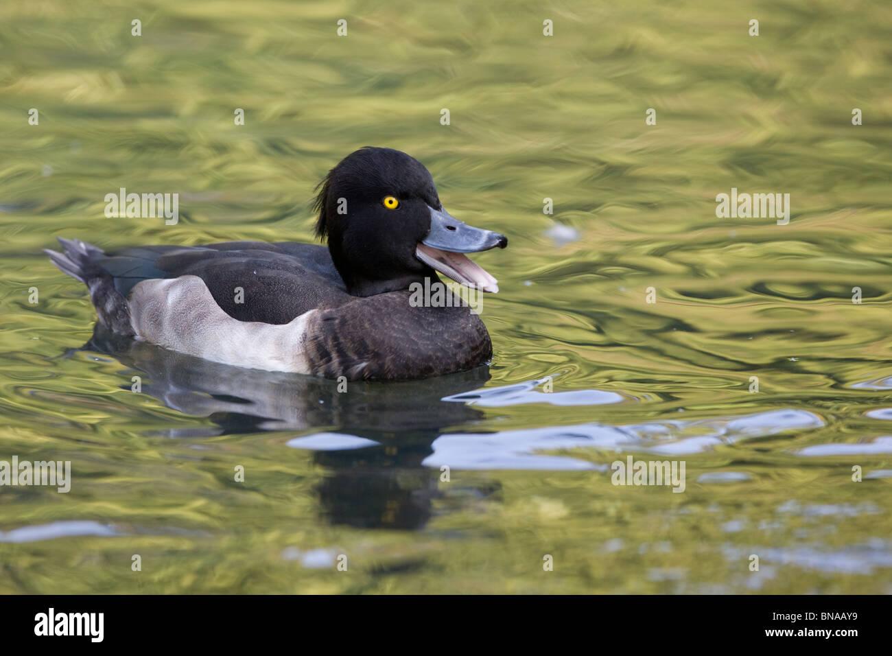 Tufted Duck - Aythya fuligula - Stock Image