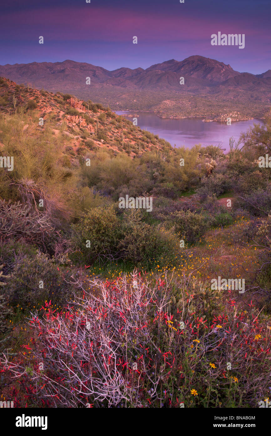 Wildflowers along Bartlett Lake, Tonto National Forest, near Phoenix, Arizona. - Stock Image
