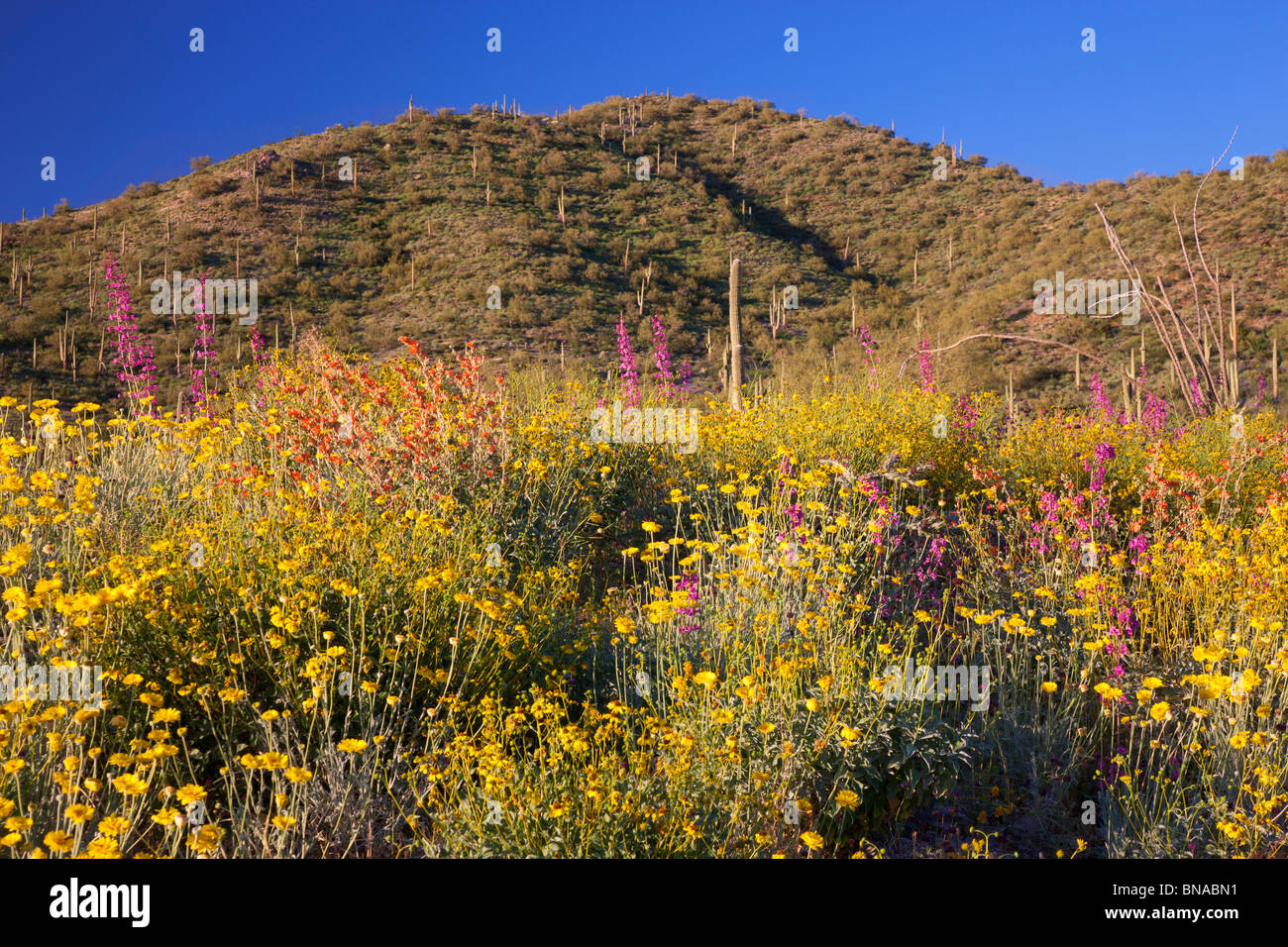 Spring wildflowers, Tonto National Forest, East of Phoenix, Arizona. - Stock Image